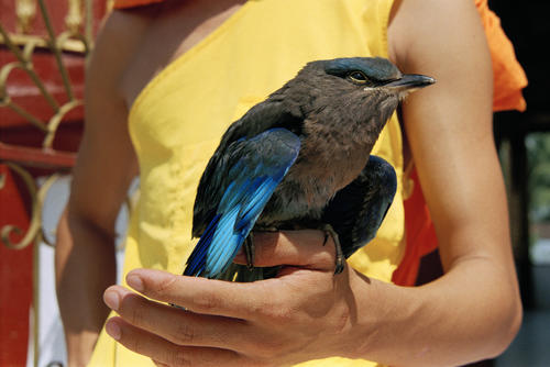 Bird being kept as a pet in a temple in Luang Prabang.