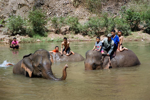 Asiatic elephants and their mahouts enjoying a dip in the river at the annual Elephant Festival held in Sayaboury Province.