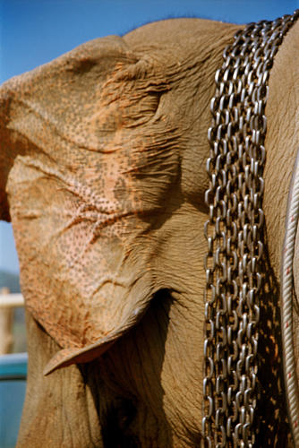Asiatic elephant and its restraining chains at the annual Elephant Festival held in Sayaboury Province.