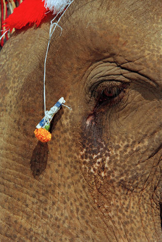 Asiatic elephant with ceremonial offering at the annual Elephant Festival held in Sayaboury Province.