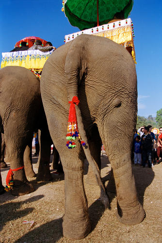 Asiatic elephant dressed in traditional ceremonial ware at the annual Elephant Festival held in Sayaboury Province.