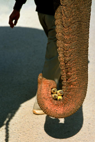 Asiatic elephant with bananas at the annual Elephant Festival held in Sayaboury Province.