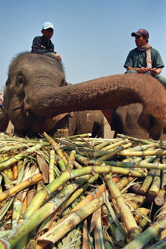 Asiatic elephant and enjoying a specially prepared buffet at the annual Elephant Festival held in Sayaboury Province.