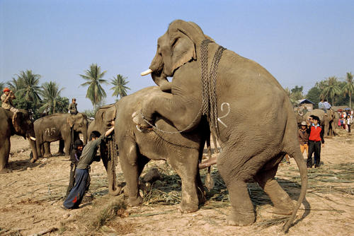 Asiatic elephants trying to mate at the annual Elephant Festival held in Sayaboury Province.