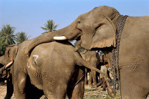 Asiatic elephants in an amorous embrace at the annual Elephant Festival held in Sayaboury Province.