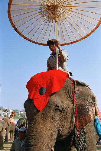 The winner of the BEST COW category at the annual Elephant Festival held in Sayaboury Province.