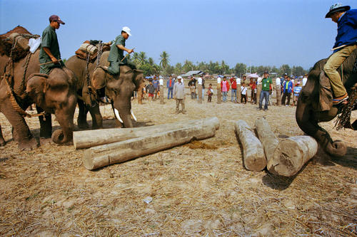 Asiatic elephant demonstrating logging techniques at the annual Elephant Festival held in Sayaboury Province.