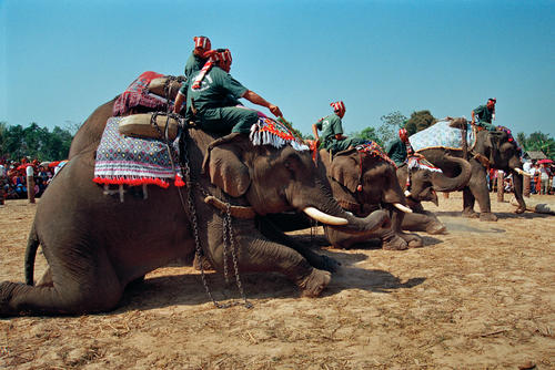 Elephants being judged at the annual Elephant Festival held in Sayaboury Province.