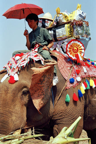 Prize winner at the annual Elephant Festival held in Sayaboury Province.