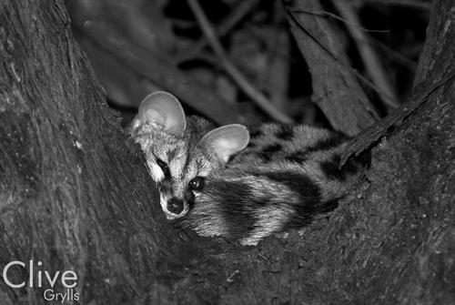 Genet in a tree at night in the Okavango Delta.