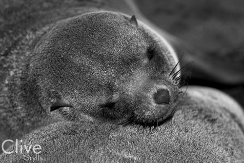 Cape fur seals at Cape Cross, Namibia.