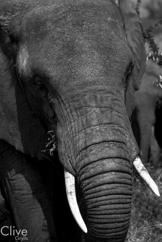 Elephant in the Maasai Mara National Reserve, Kenya.