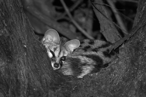 Genet in a tree at night in the Okavango Delta.