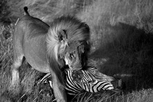 Lion with zebra kill in the Etosha National Park, Namibia.