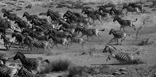 Zebras in the Etosha National Park, Namibia.