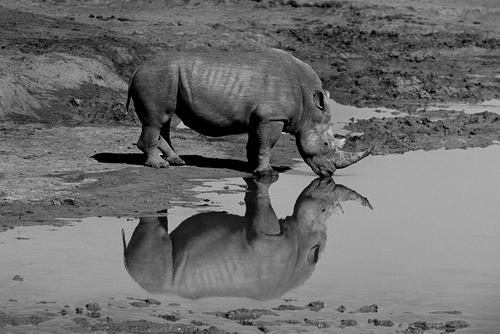 White Rhinoceros drinking at a water hole in the Madikwe Game Reserve, South Africa.