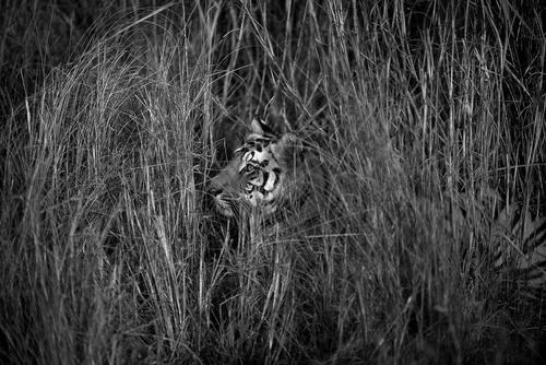 Royal Bengal tiger in the Bandhavgahr National Park, Madhya Pradesh.
