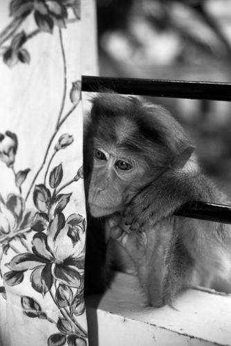 Bonnet macaque peering through the window of a guesthouse outside Periyar National Park. Kerala, India.