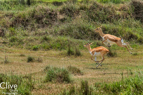 Pronging Blackbuck antelopes at the Bardia National Park