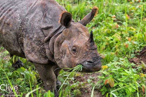 Greater One-horned rhinoceros eating grass in the Chitwan National Park
