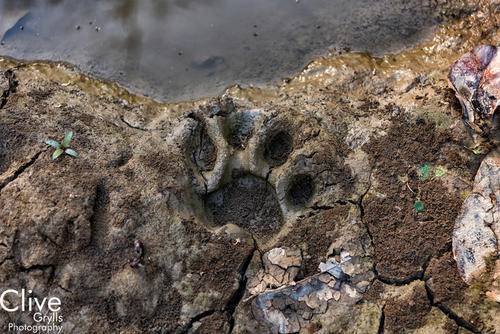 Tiger pugmark in the Chitwan National Park
