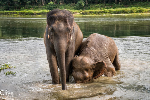 Asiatic elephants in the Chitwan National Park.