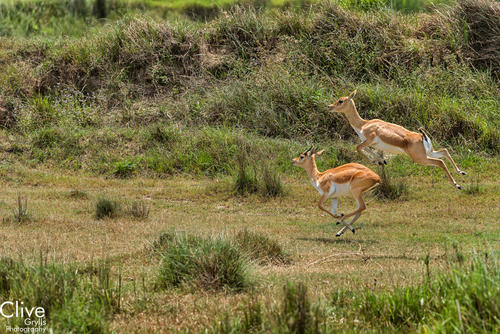 Pronging Blackbuck antelopes at the Bardia National Park