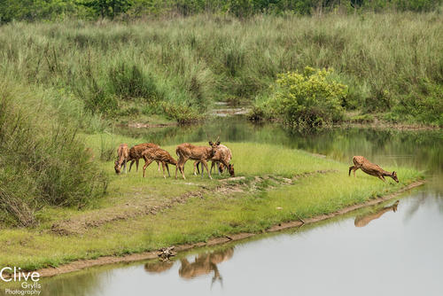 Chital deer drinking at a water hole in the Bardia National Park, Nepal