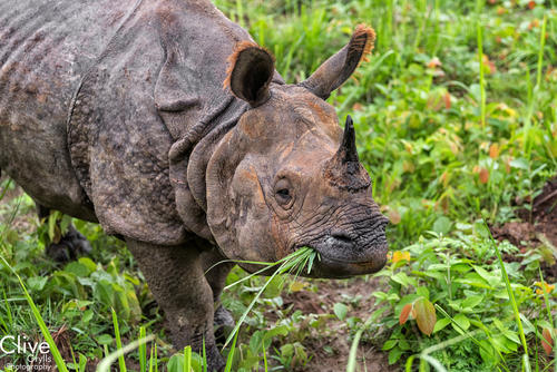 Greater One-horned rhinoceros in the Chitwan National Park, Nepal