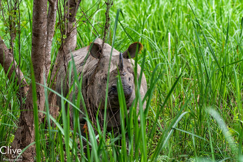 Greater One-horned rhinoceros in Elephant grass in the Chitwan National Park