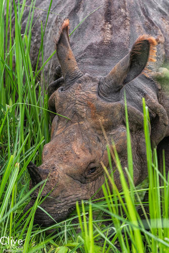 Greater One-horned rhinoceros in the Chitwan National Park