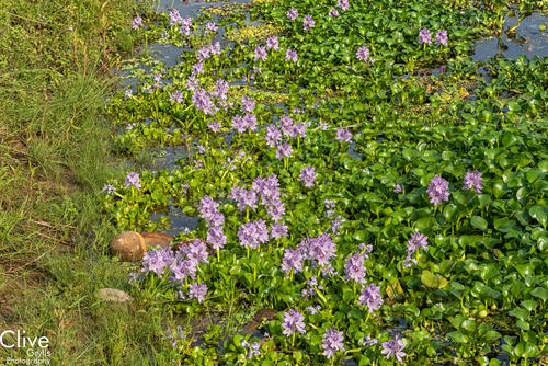 Water Hyacinths in the Chitwan National Park