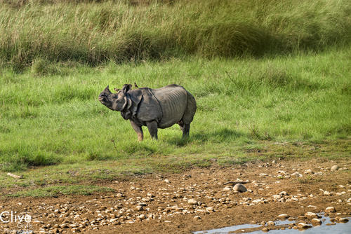 Greater One-horned rhinoceros in the Bardia National Park