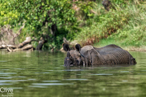 Greater One-horned rhinoceros wallowing in a water hole in the Bardia National Park