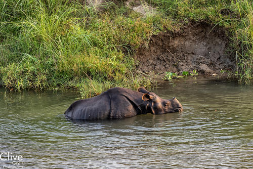 Greater One-horned rhinoceros in the Rapti River in the Chitwan National Park