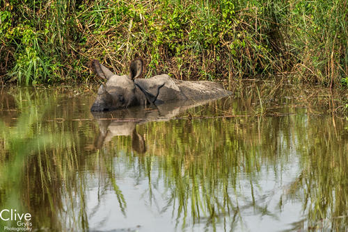 Greater One-horned rhinoceros wallowing in a water hole in the Chitwan National Park