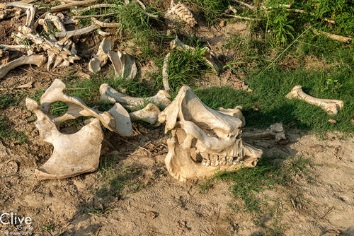 Skeleton of a Greater One-horned rhinoceros that died from natural causes in the Chitwan National Park