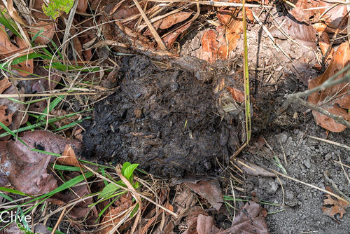 Tiger faeces in the Bardia National Park