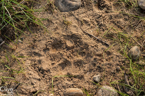Tiger pugmark in the Bardia National Park