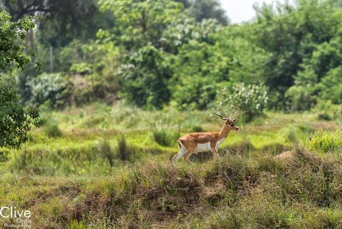 Blackbuck antelope at the Bardia National Park