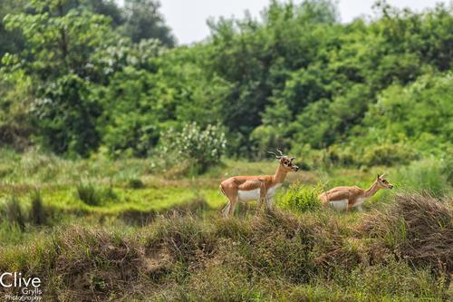 Blackbuck antelopes at the Bardia National Park