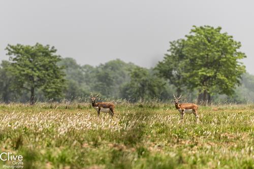 Blackbuck stag antelopes at the Bardia National Park