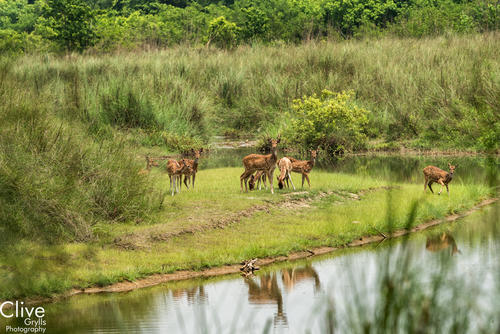 Chital deer drinking at a waterhole in the Bardia National Park