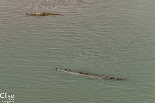 Gharial crocodiles on the Geruwa River, Bardia National Park