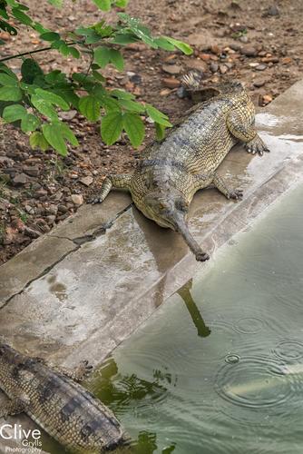 Gharial crocodiles in the 'Crocodile Breeding Centre'. Chitwan National Park.