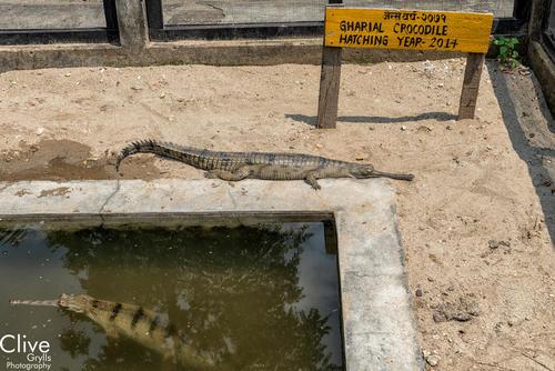 Gharial crocodile in the 'Crocodile Breeding Centre'. Chitwan National Park.