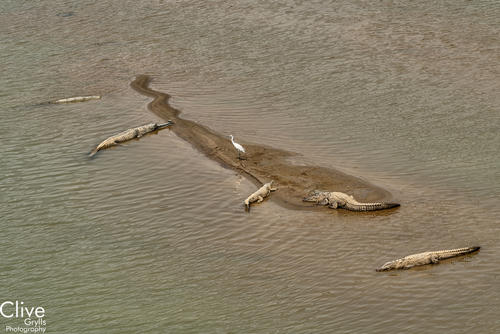 Egret and gharial and mugger crocodiles on the Geruwa River, Bardia National Park