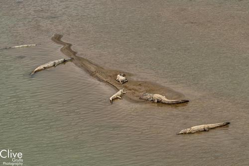 Gharial and mugger crocodiles on the Geruwa River, Bardia National Park