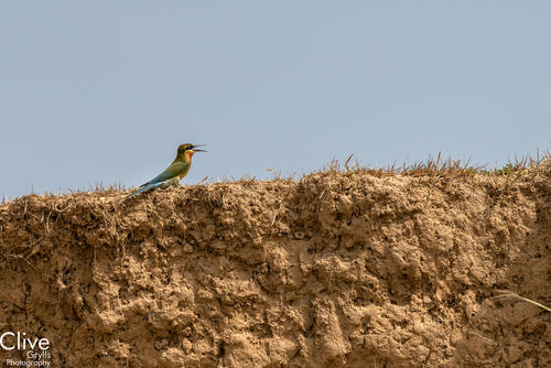 Blue tailed bee eater. Bardia National Park.