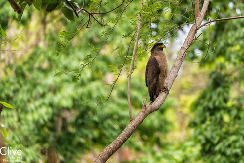 Crested Serpent Eagle. Chitwan National Park.